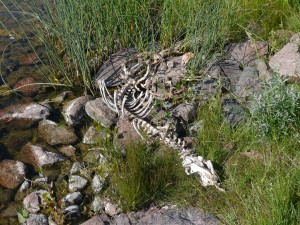 Mysterious dead monster - definite carnivore - too big for a dog...