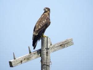 Big Hawk!