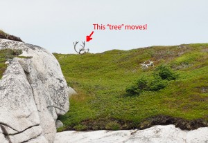Moving Tree or Caribou?