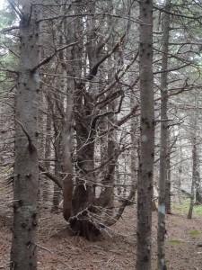 Petrified Pines