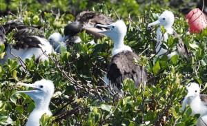 Baby Frigate Birds