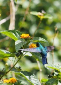 Pretty Blue Hummingbird