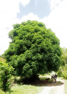 This tree was cut down to it's trunk just 5 years ago - Things grow fast in Martinique!