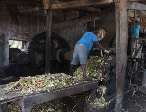 Crushing Sugar Cane - I wonder how many feet and hands have gone through that roller?