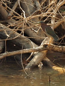 Green Backed Heron. (I think it had a different name on our last visit!)